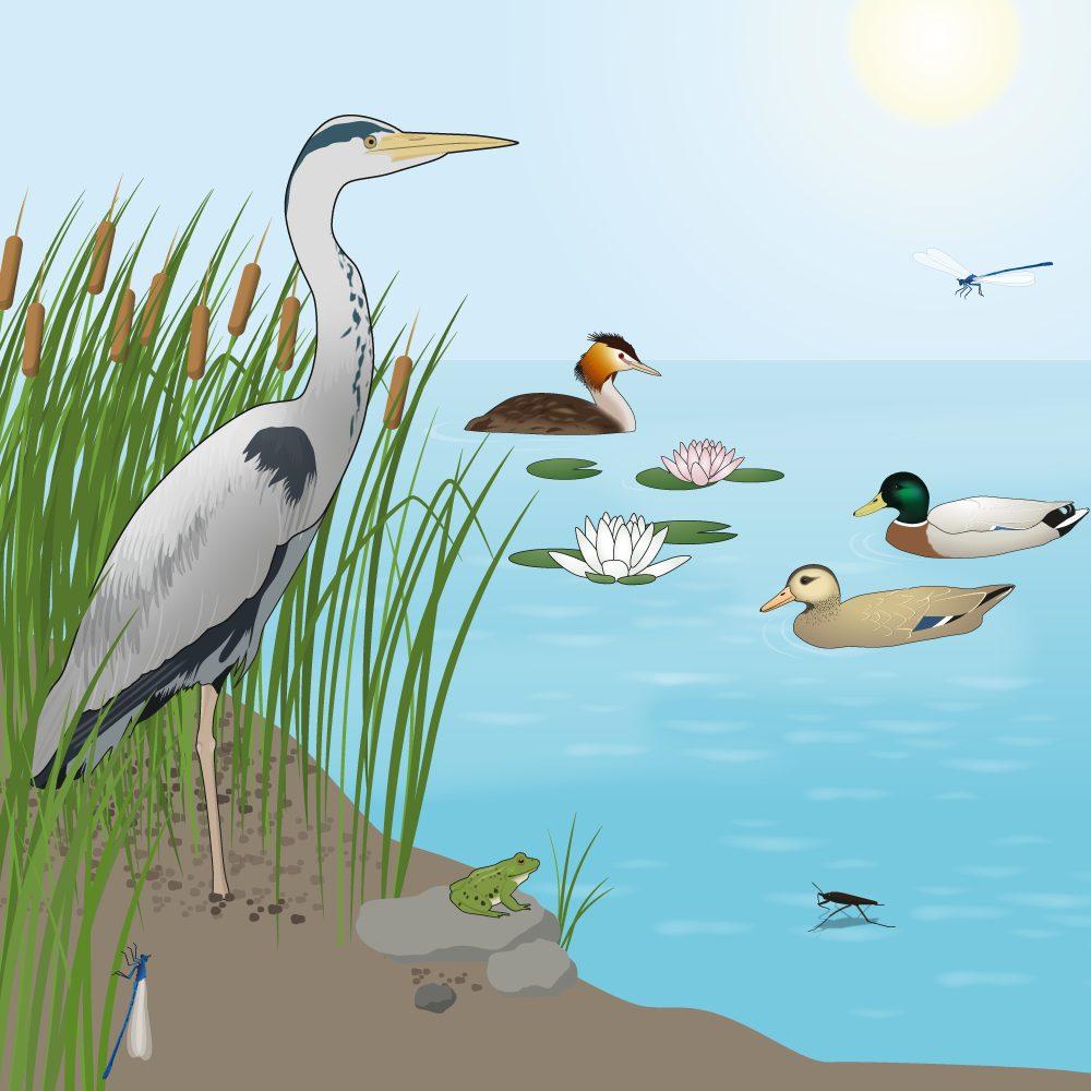 Schulbuch-Grafik - See mit Tieren