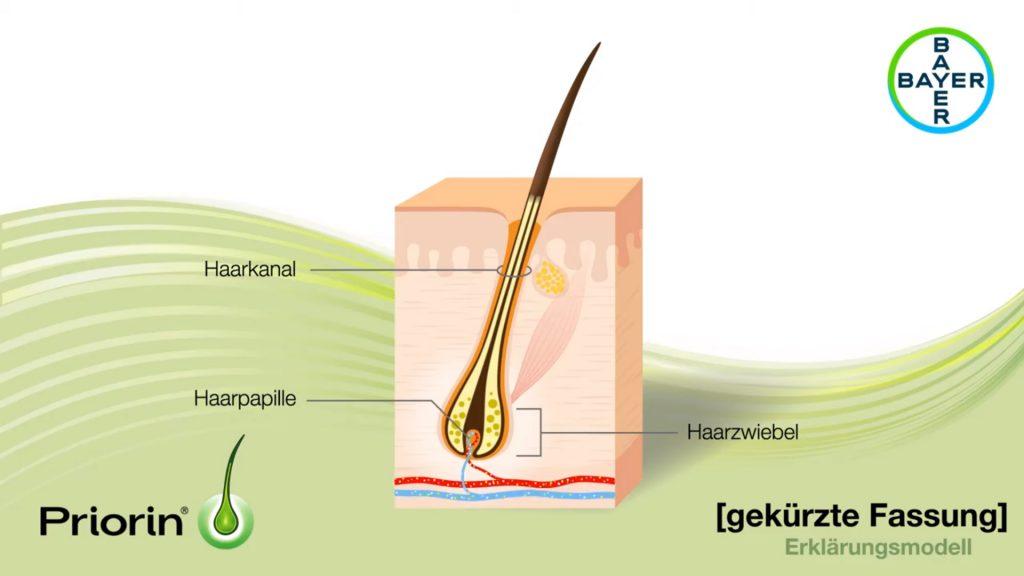 Haarwachstum (Haarkanal, Haarzwiebel, Hautschichten)